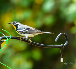 Warbler-Yellow Throated