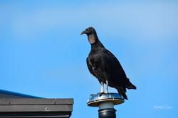 Vulture-Black