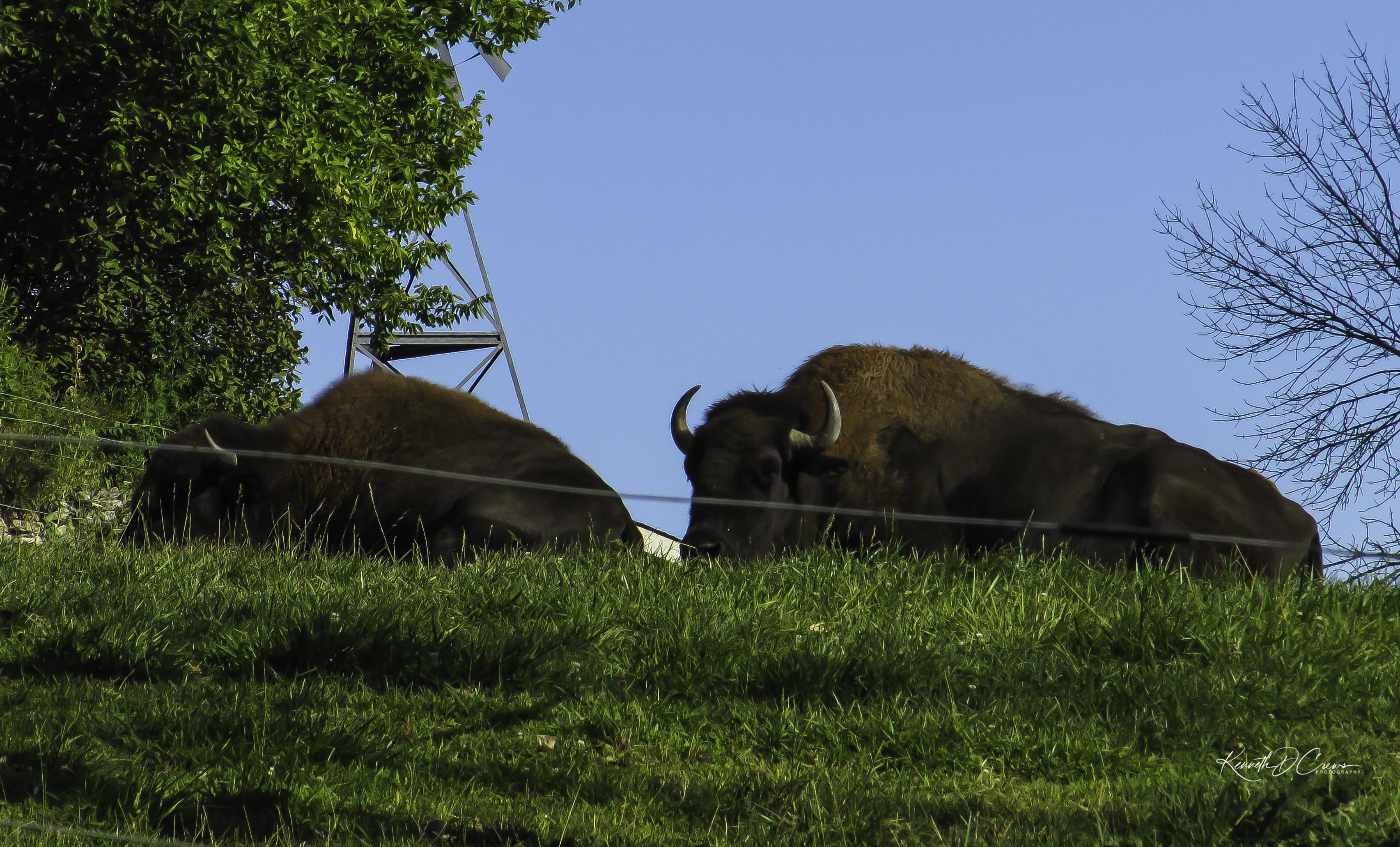Zoo buffalo-1