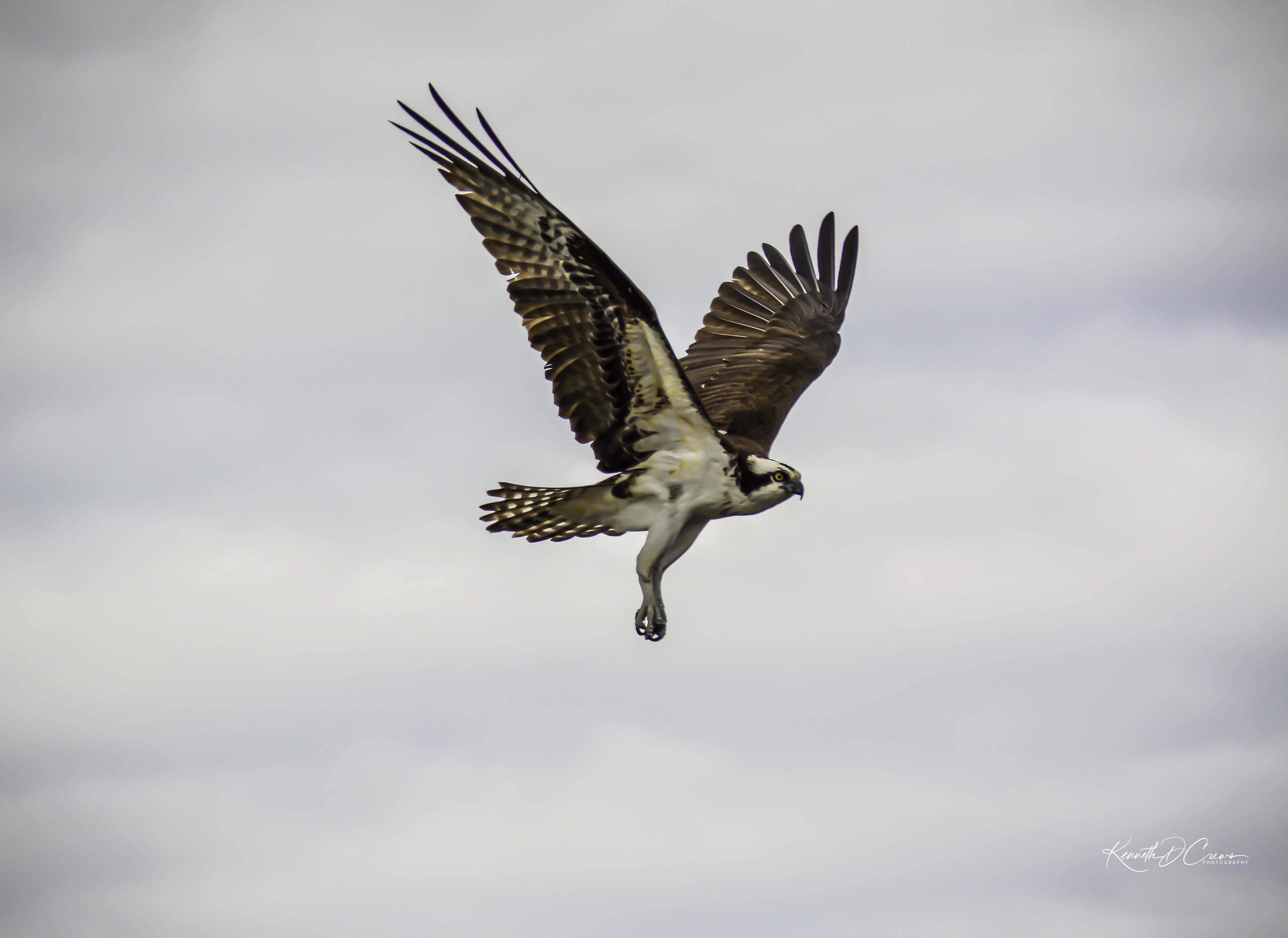 Osprey flying-1