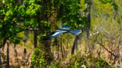 Anhinga in flight