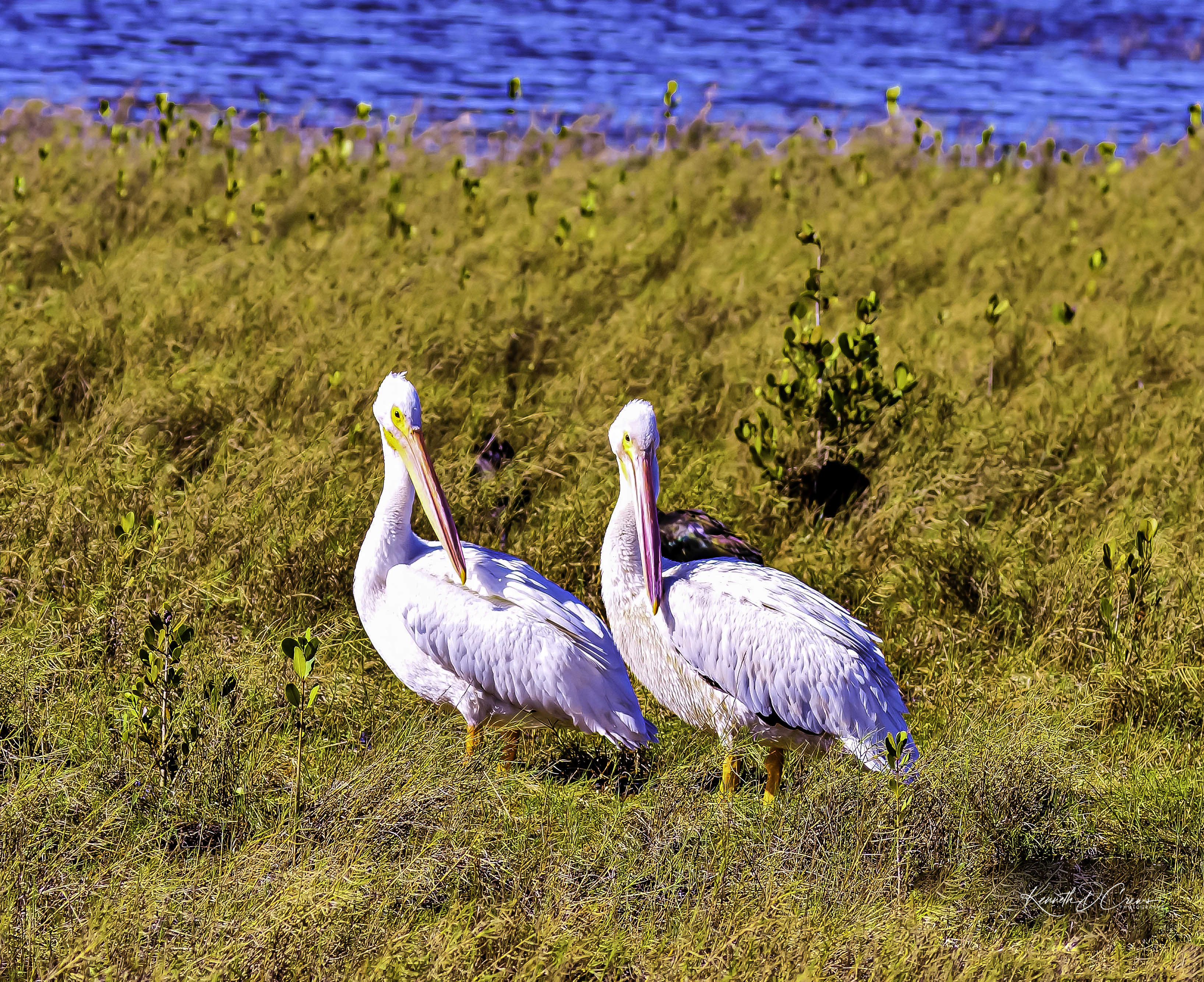 Pelican - white-1