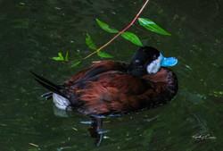 Ruddy duck-1