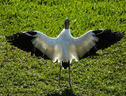 Wood Stork drying wings
