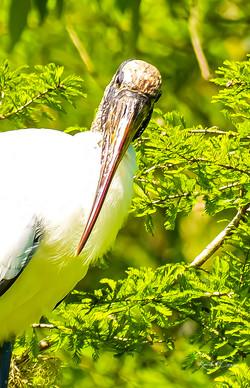 Wood Stork1-1