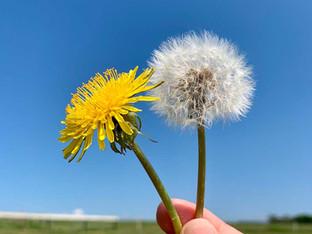 The Dandelion Metaphor