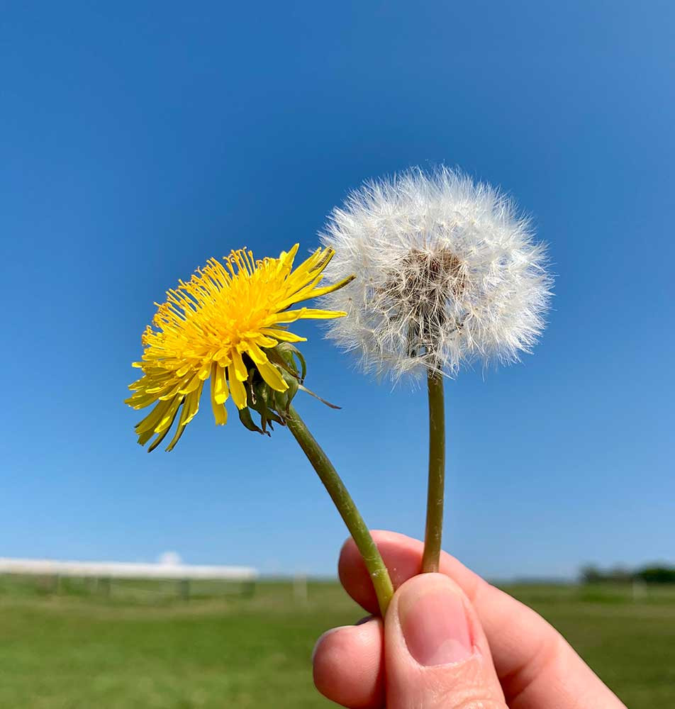 Dandelion picture as a flower and as a seed