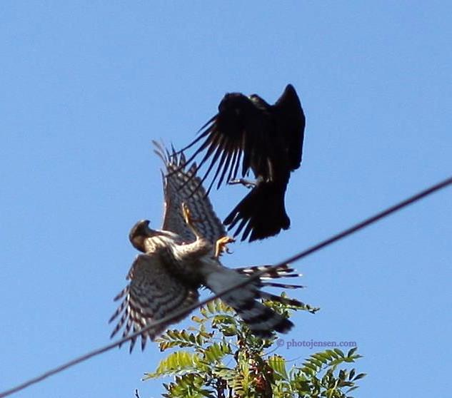 Raven V Hawk