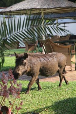 Warthog at the hotel
