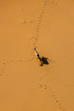 Oryx in the Dunes