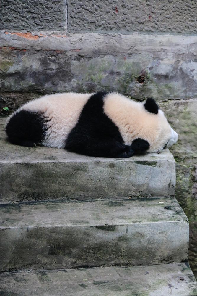 Pandas in Chongqing