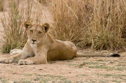IMG_9822_Lion