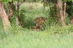 Lion - Pendjari (11)