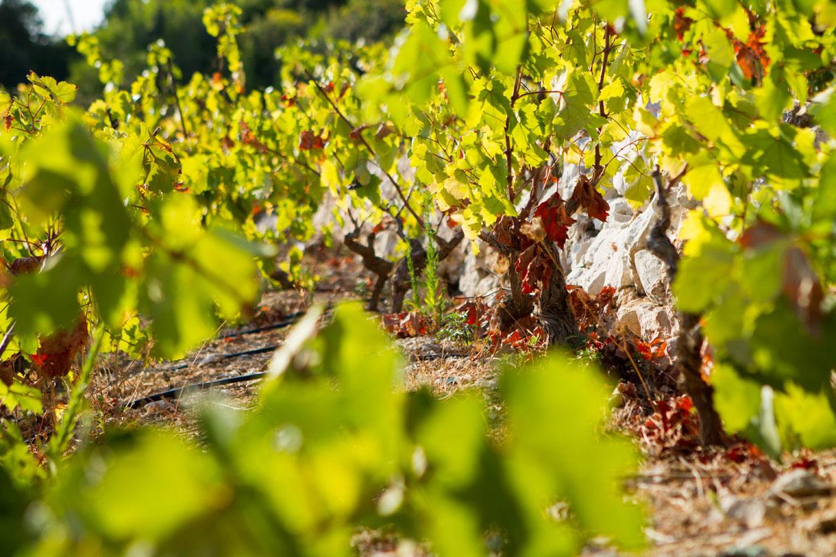 Vineyard-row_Peljesac-Peninsula_Croatia-
