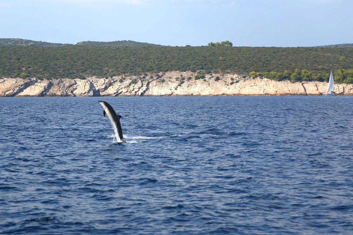 Dolphin_sailing-Dalmatia-Coast-(photo-by