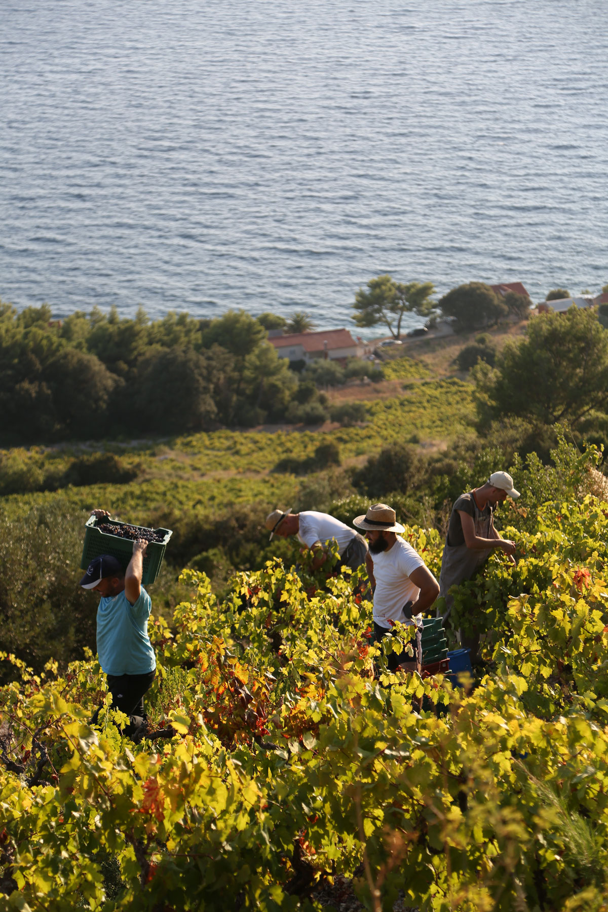 Grape-Harvest-2018-overlooking-Adriatic_