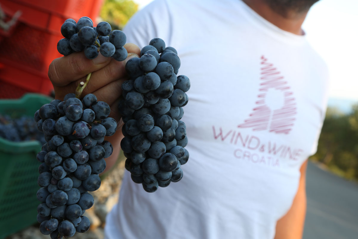 Grape-harvest_clusters_Peljesac-Peninsul