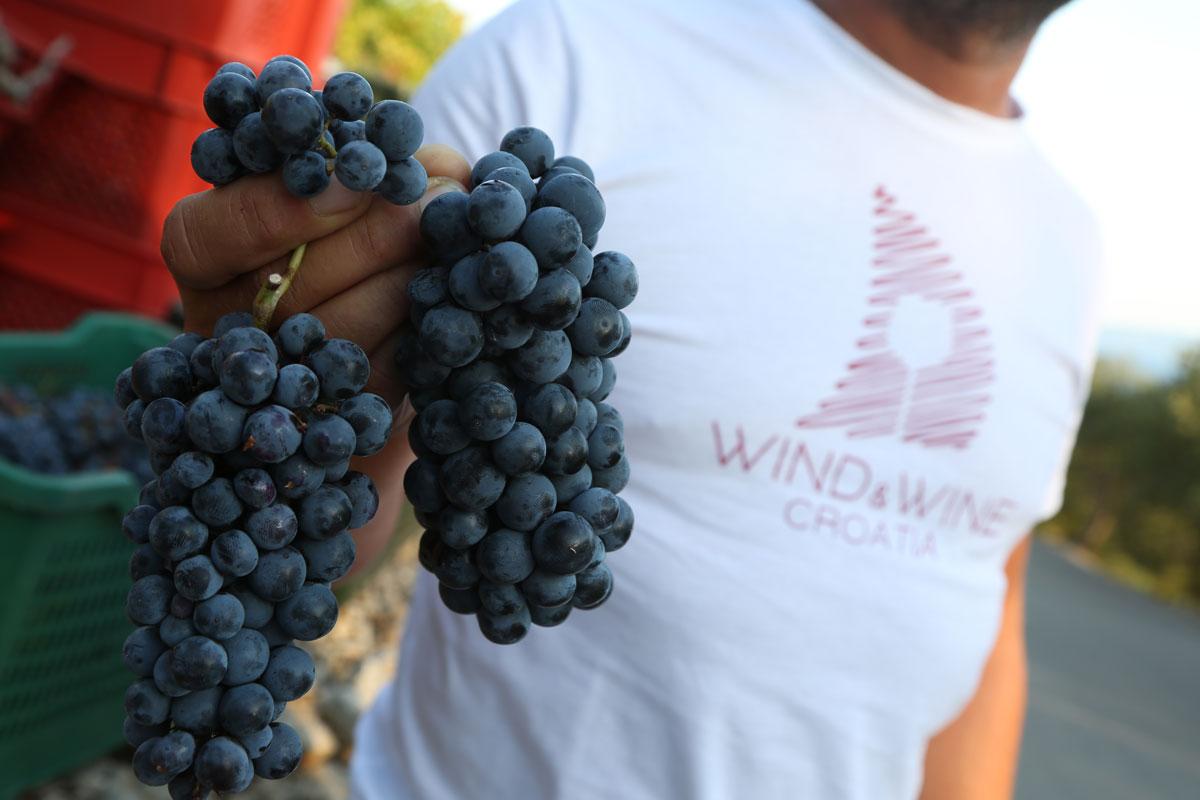 Grape-harvest_clusters_Peljesac-Peninsul