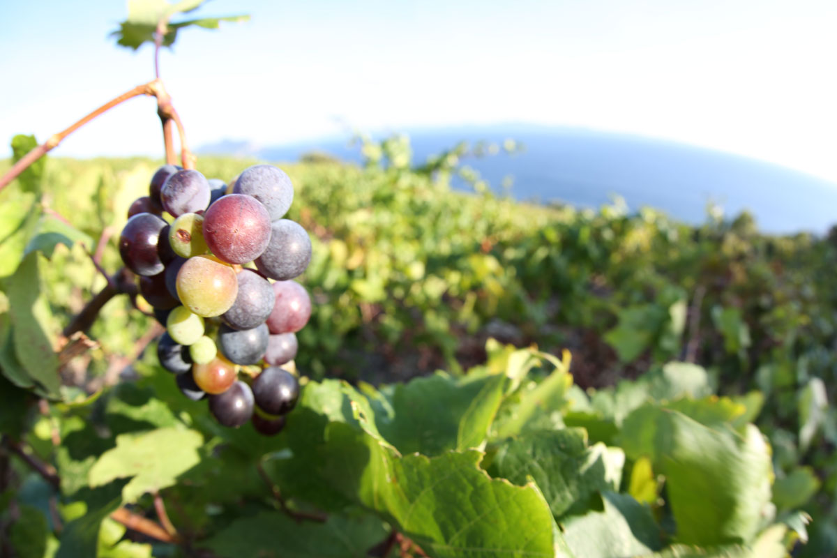 Grape-cluster-in-the-vineyard_Peljesac-P