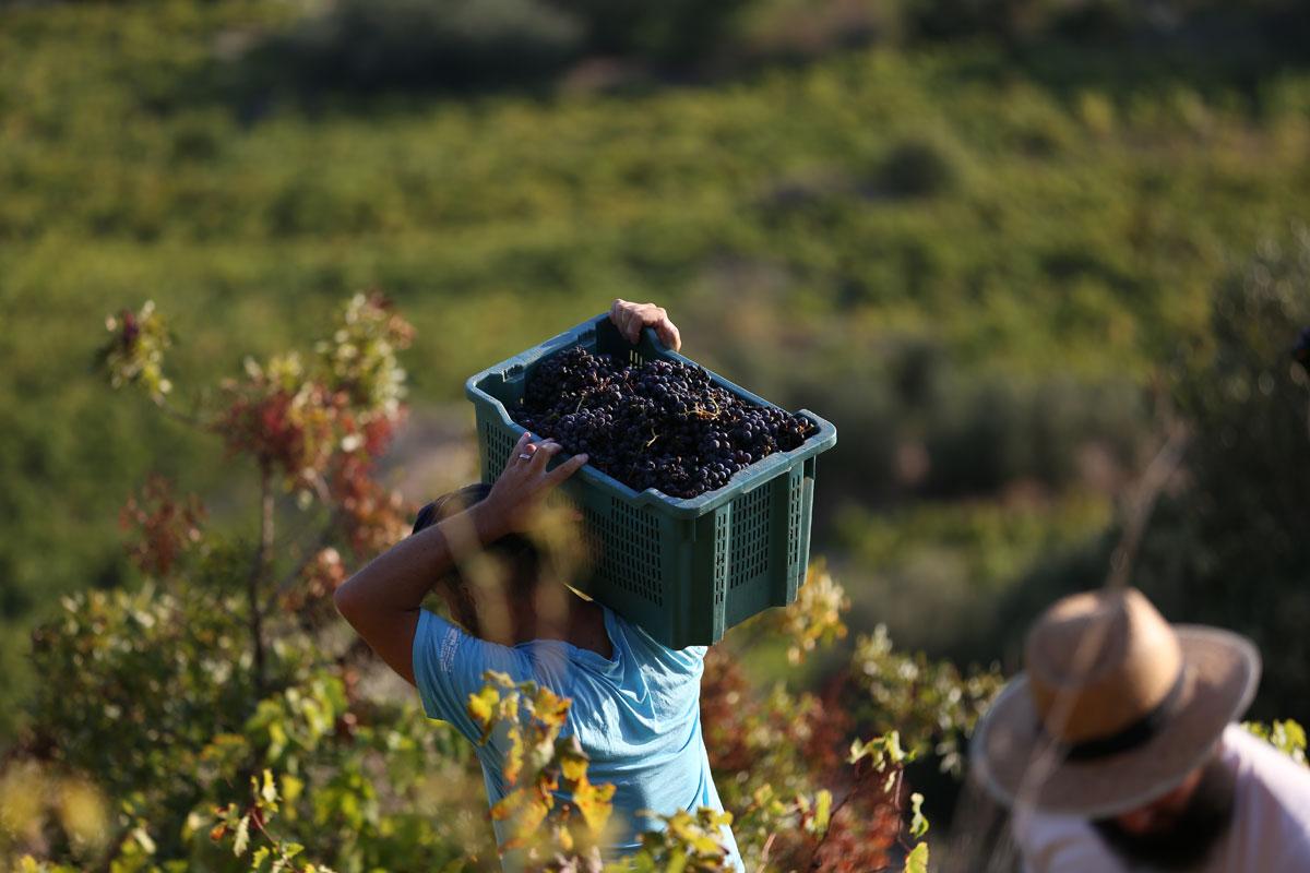 Grape-Harvest-2018_Peljesac-Peninsula_Cr
