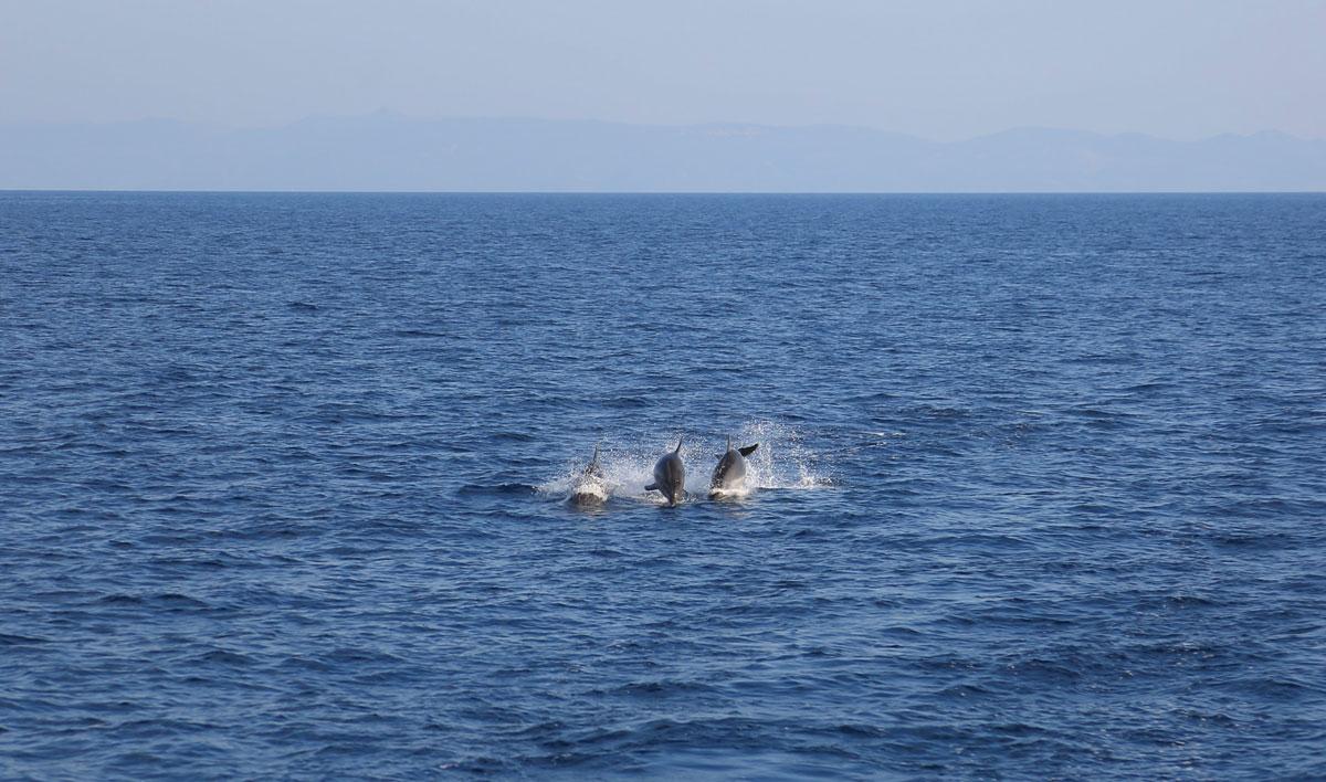 Dolphins-sighting_sailing-Dalmatia-Coast