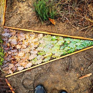 Oak leaves spectrum