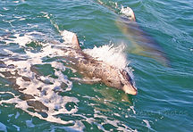 Dolphin of the gulf of Mexico