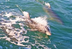 Dolphin on the jet ski tour