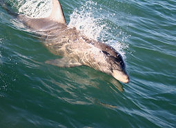 dolphins of lm 5.jpg