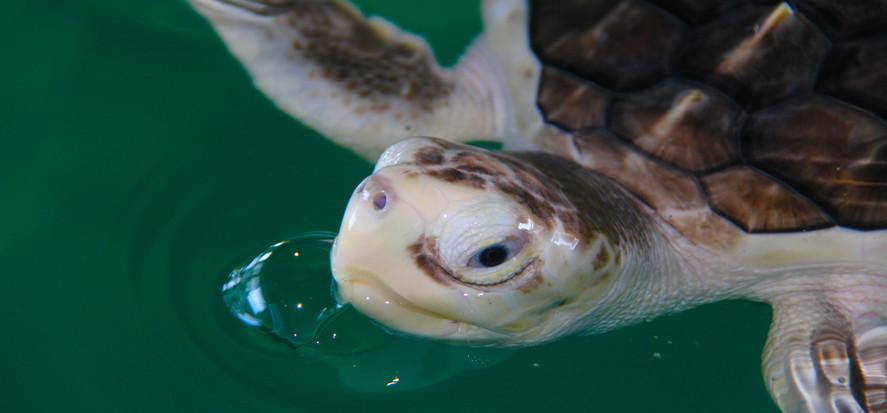 Sea Turtle Inc. Ospray Nest Cam
