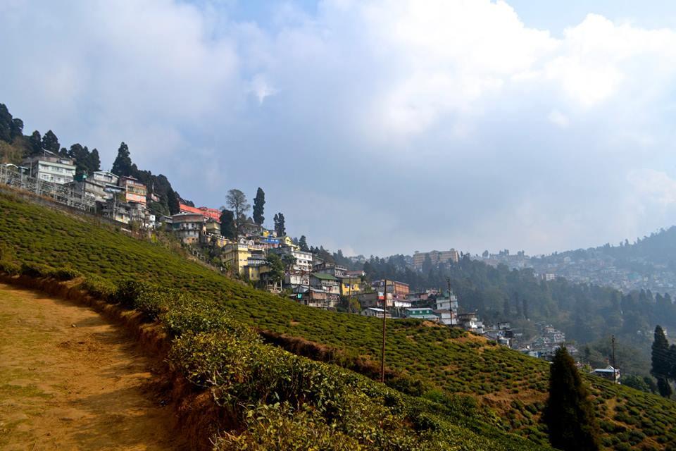 Darjeeling Tea Plant