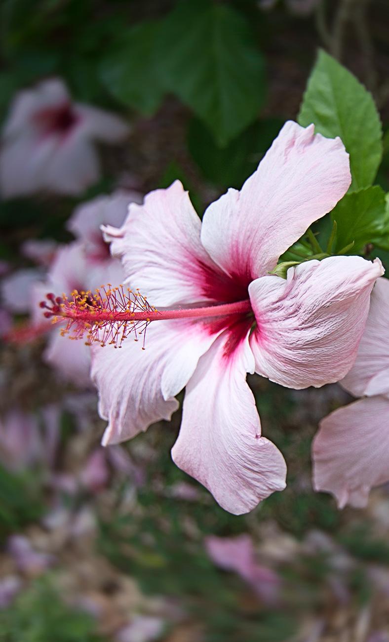 ibiscus-rosa-web
