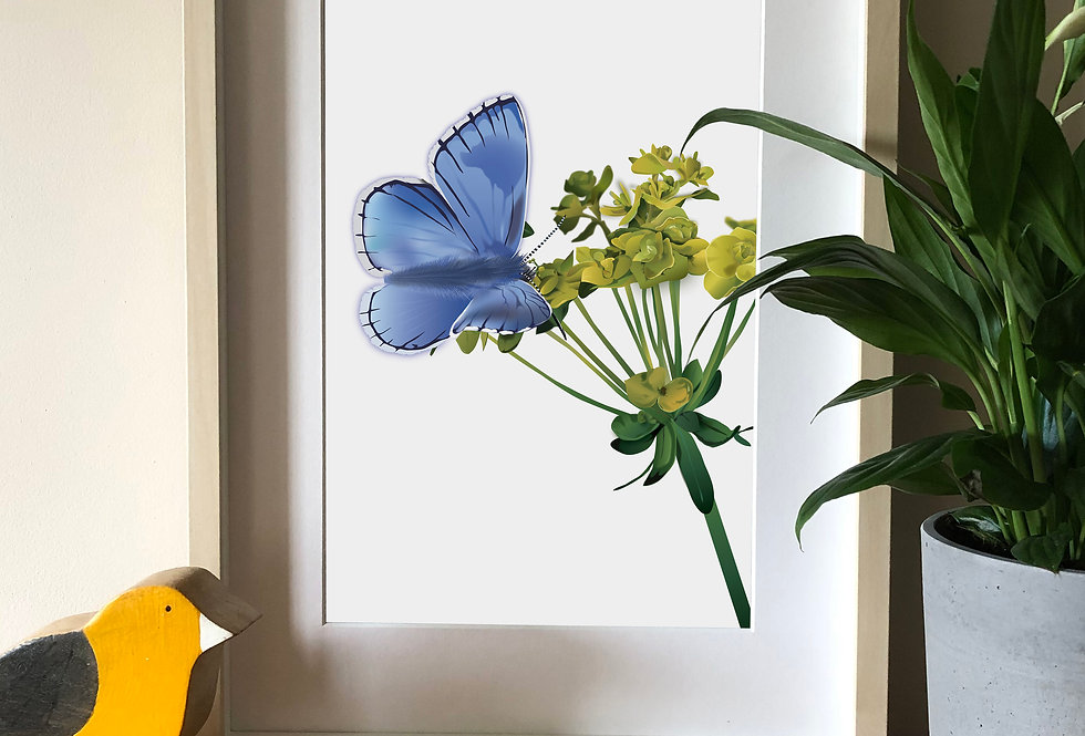 Adonis Blue butterfly illustration print