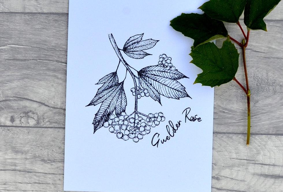 Guelder rose illustration print  - Crisp