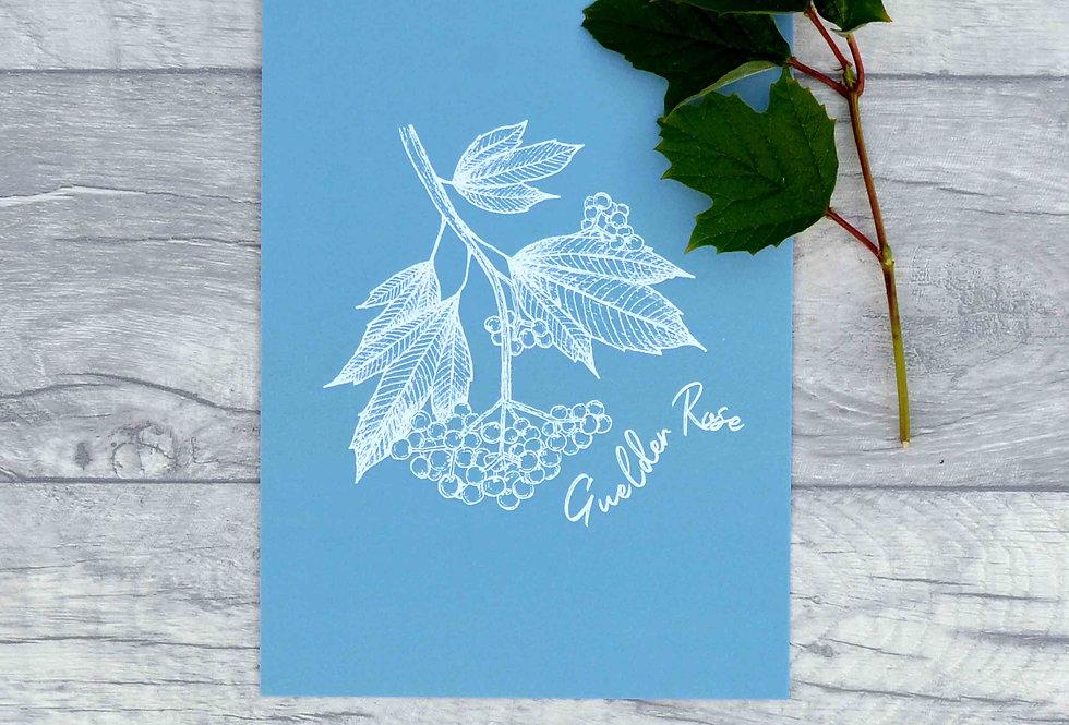 Guelder rose illustration print  - Cornflower