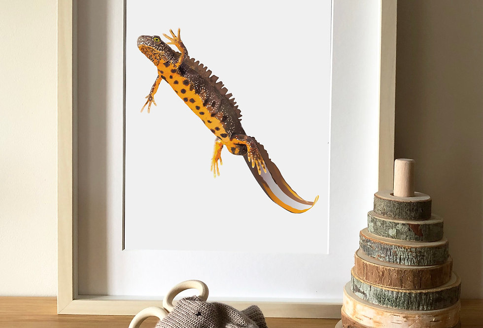 Great crested newt Illustration print