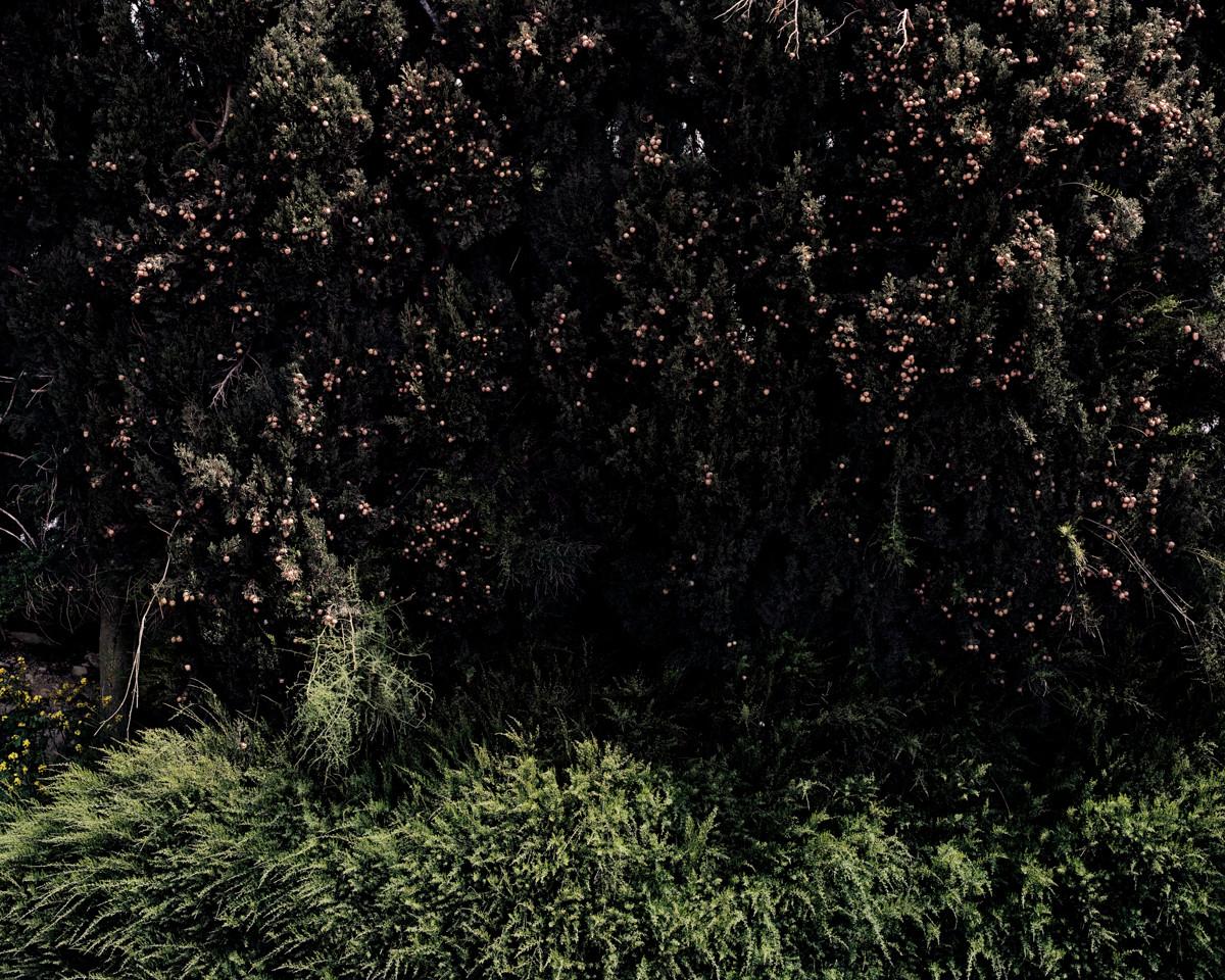 Cypress Wall, Along the Road to Manara, 2013
