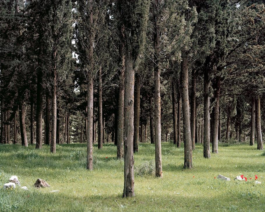 Cypress Forest, Birya National Park, Galilee, 2013