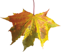 37-autumn-png-leaf.png