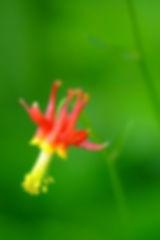 Columie Flower