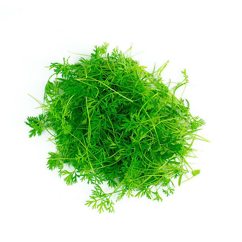 Carrot-microgreens-tops.jpg