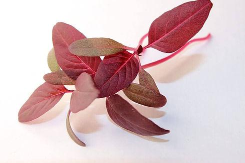 red-garnet-amaranth-how-to-grow-amaranth