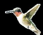hummingbird02_edited.png
