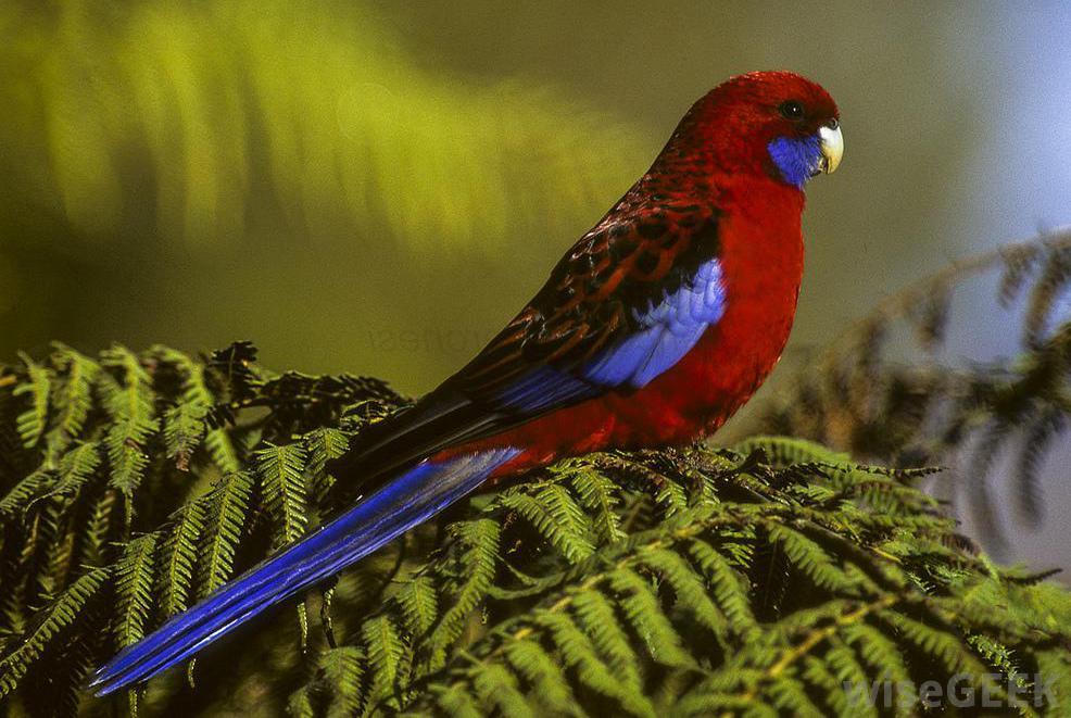 rosella-parrot