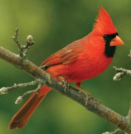 Male-Northern-Cardinal