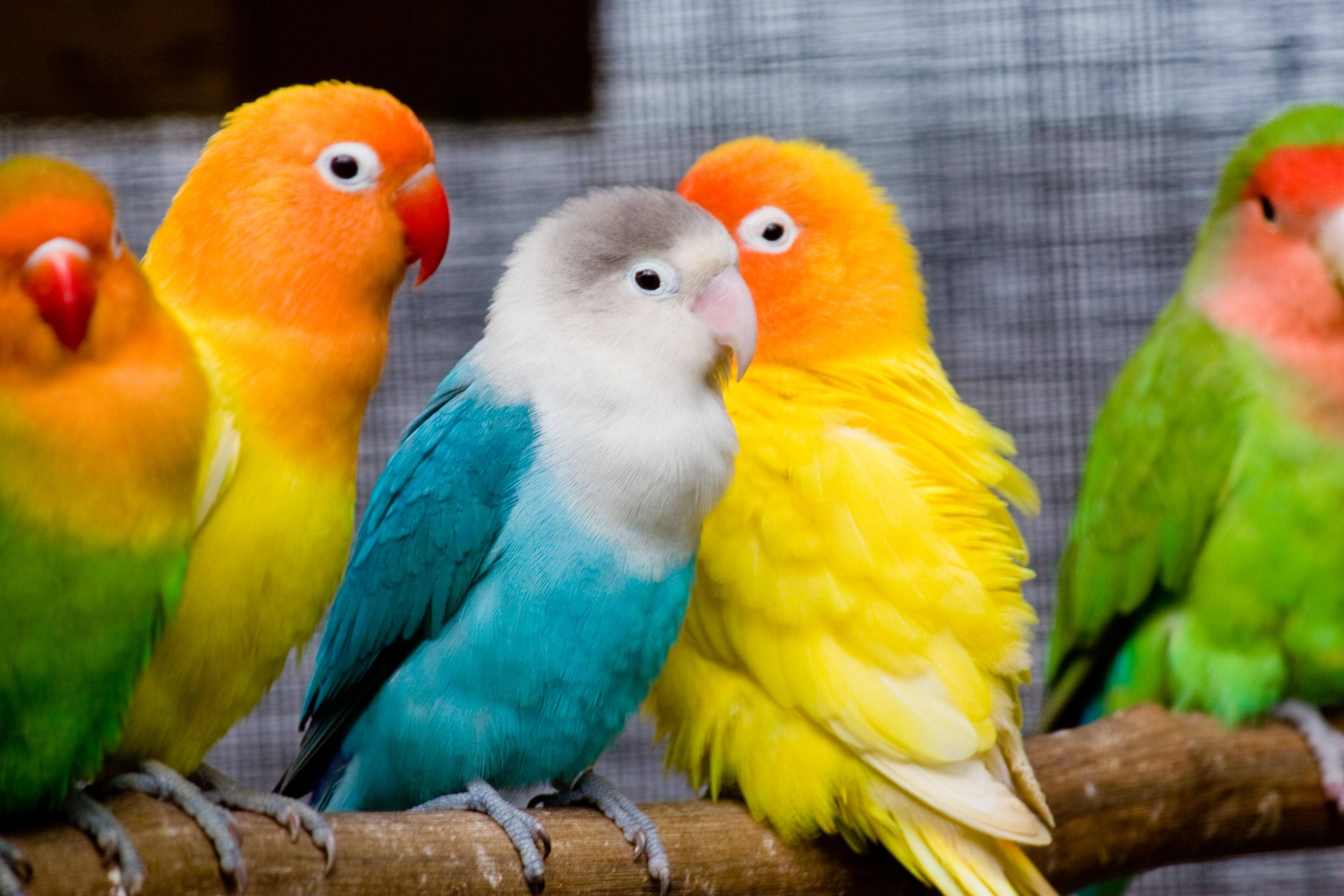 Lovebirds_on_a_perch-8b