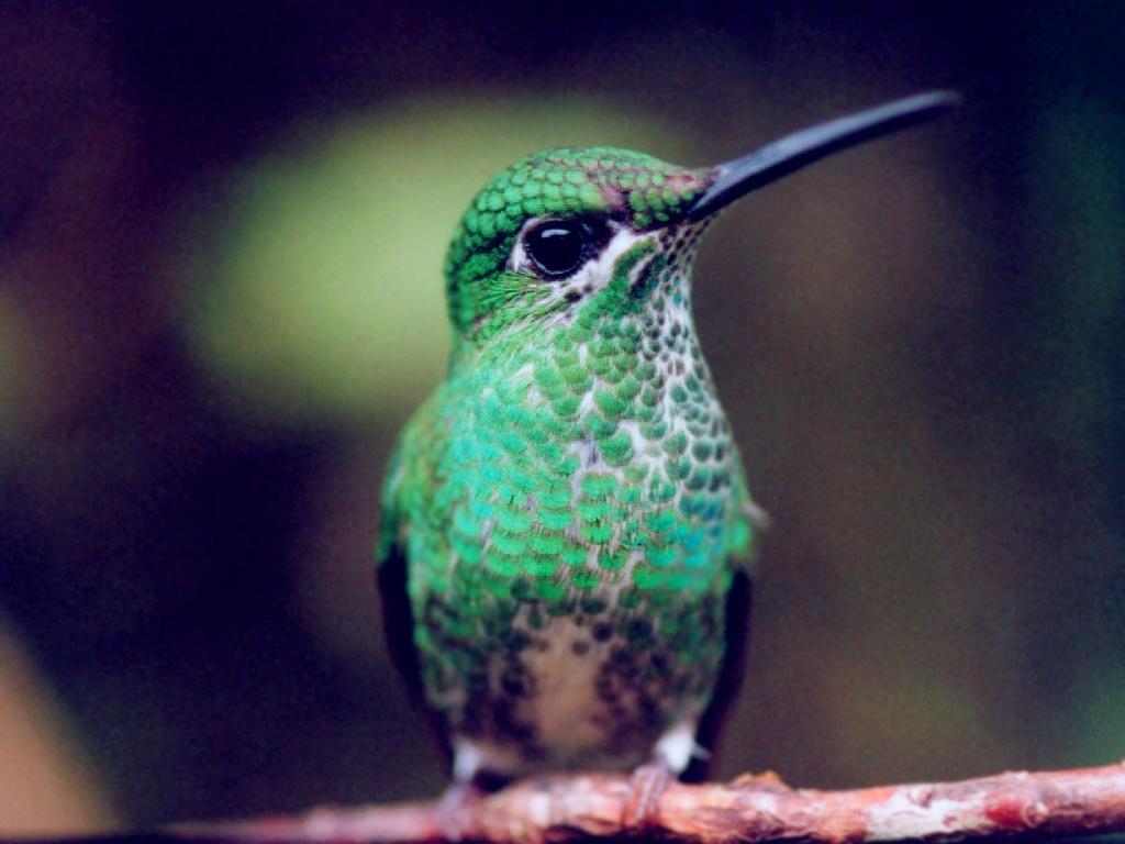 MonteverdeHummingbirdFemale