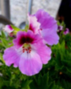 Ebenezer Home, Haifa - royal geranium