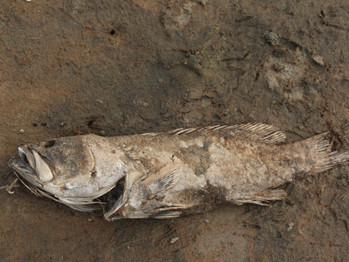 Investigating recent fish kills in Eastern Cape estuaries: Several species reach tipping points
