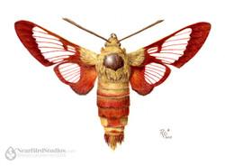 small-05-Hummingbird-Clearwing-Moth